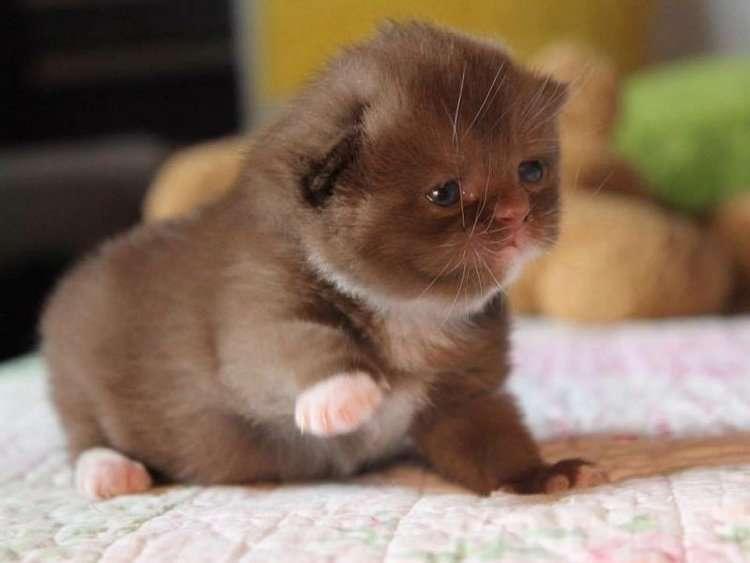 В Германии разводят красивых котов с шоколадной шубкой